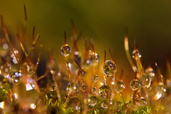 Field of Dew (Daniel Sjstrm) Tags: flowers autumn plants color nature photo daniel normal ef50mmf18ii sjstrm canon550d