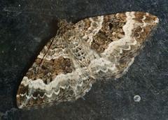 Common Carpet (Epirrhoe alternata) (bramblejungle) Tags: macro garden insect moth lepidoptera epirrhoe commoncarpet alternata nationalmothweek