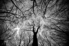 Reaching for the sky (Valley Imagery) Tags: trees winter contrast australia winery southaustralia barossavalley seppeltsfield abcopen:project=yourbest