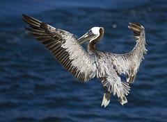 IMG_7553 (San Diego Shooter) Tags: bird pelicans birds sandiego lajolla pelican lajollacove