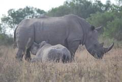 dondarkes90 (dondarkes) Tags: feeding mother calf rhinocerous blackrhino