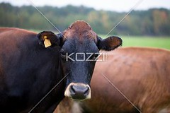 close-up of a cow (fredphotos8877) Tags: summer green nature field grass animal mammal outdoors photography cow day cattle nobody nopeople pasture livestock farmanimal grazing dairyfarm oneanimal domesticanimal colorimage ruralscene herbivorous nonurbanscene domesticcattle focusonforeground dairycattle hoovedanimal domescticated