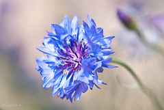 cornflower (Zvetkova) Tags: blue plant blur flower macro nature field garden nikon russia outdoor filter d200 cornflower imageblur