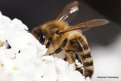 Honig Biene (grafenhans) Tags: zeiss carl 135 makro 35 biene grafenwald slt55