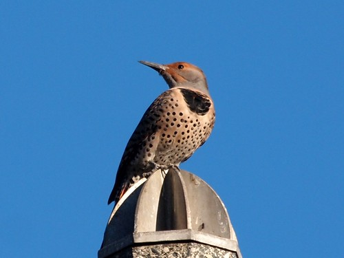 """Northern Flicker • <a style=""""font-size:0.8em;"""" href=""""http://www.flickr.com/photos/59465790@N04/8154695476/"""" target=""""_blank"""">View on Flickr</a>"""