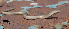(Not So) Slow Worm (KHR Images) Tags: nature nikon reptile wildlife norfolk lizard 1855mm blindworm slowworm legless anguisfragilis d7100 kevinrobson khrimages