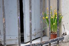 Fleur (Xaf) Tags: flower window fleur fence ventana flor montpellier finestra daffodil raja narciso reixa narcs fujifilmxworld fujifilmxe2