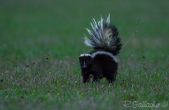 Striped Skunk (Ron Gallagher Photography) Tags: wild nature animal animals wow nikon wildlife canadian northern skunk striped stinky northernontario stinker sprayer nikonlens wildlifephotography stripedskunk nikond7100
