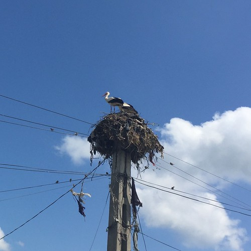 Power pole storks nest