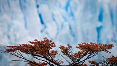The Calafate (ckocur) Tags: patagonia ice southamerica argentina nationalpark glacier peritomoreno elcalafate icefield southernpatagonia