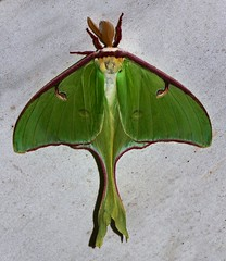 Moth_053016i (Eric C. Reuter) Tags: ny nature wildlife may insects moths hancock catskills 2016 somersetlake mothing 053016