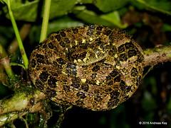 Pretty but potentially deadly Speckled Forest Pitviper, Bothriopsis taeniata (Ecuador Megadiverso) Tags: ecuador amazon rainforest snake puyo crotalinae viperidae speckledforestpitviper bothriopsistaeniata bothriopsispulchra