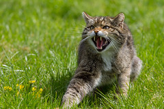 Scottish Wildcat (robertcampbellphotography) Tags: mammal wildcat snarl britishwildlifecentre