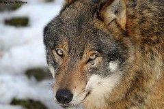 IMG_8744 (u.wittwer) Tags: park zoo schweiz switzerland tiere suisse tierpark heimat arth naturpark goldau widi
