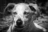 Gypsie (pattoise) Tags: dog chien gypsie