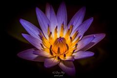 Blue White Lotus (madi_patub) Tags: flowers flower macro floral indonesia lotus macros bogor nikond3200 d3200 kebunrayabogor macrophotografi