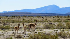 - 2016-05-05 at 20-10-44 + vicuna family at the Salt Hotel
