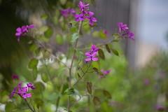 IMG_0416 (Nikan Likan) Tags: pink paris flower green field vintage lens 50mm prime purple bokeh german manuel depth xenon schneider retina | 2016 f19 kreuznarch