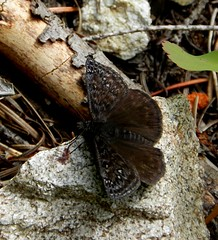 Persius Duskywing aka Erynnis persius (Ramona H) Tags: nature butterfly outdoors spring northcascades erynnispersius persiusduskywing diablolaketrail diskywing