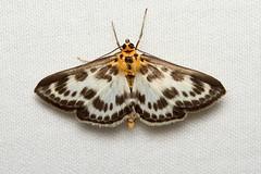 Anania hortulata (Small Magpie Moth) Hodges # 4952 (Nick Dean1) Tags: macro canon insect washington moth lepidoptera washingtonstate animalia arthropoda everett hodges arthropod hexapod insecta washingtonusa magpiemoth hexapoda crambidae 4952 smallmagpiemoth canon7d southeverett ananiahortulata hodges4952