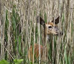 IMG_4012 (rachelaughs) Tags: nature deer hiding hidding whitetailed whitetaileddeer mendonponds mendonpondspark