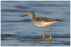 Greater Yellowlegs  (Rodolfo Quinio) Tags: nature wildlife waterbird waterfowl shorebird wader greateryellowlegs sussexcounty milfordde nikond500 primehooknwr