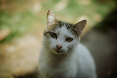 Whitey's mom (Just A Stray Cat) Tags: travel cats film nature field analog cat 35mm canon landscape outdoors 50mm nikon dof bokeh outdoor mother kitty kittens s mm manual nikkor 50 35 depth ai f12 f12s