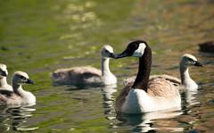Canadian and Goslings (Karen McQuilkin) Tags: swim geese pond karenmcquilkin canadianandgoslings