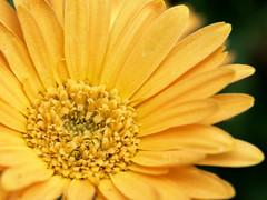 Yellow Macro Delight (jhambright52) Tags: macro yellow macroflowers yellowmacroflower