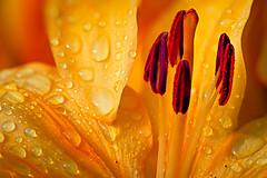 Golden Sunrise (psmithusa) Tags: life plant flower macro nature water sunrise gold golden droplets leaf drop dew stamen droplet