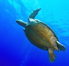 green turtles everywhere (Cruising, traveling & dive pics.) Tags: fish coral turtle 2011 2011nthcrus pandorapassage