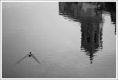 (The New Motive Power) Tags: city blackandwhite reflection bird tower water swimming sunrise river dawn early duck still spain wake surface catalonia calm girona historic ripples flowing catalua shimmer onyar