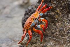 Cangrejo de Roca Roja (ik_kil) Tags: ecuador crab galapagos cangrejo galpagos galapagosislands sallylightfootcrab islasantacruz grapsusgrapsus islasgalpagos cangrejoderocaroja cangrejodepatasligeras garrapaterobeach
