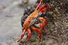 Cangrejo de Roca Roja (ik_kil) Tags: ecuador crab galapagos cangrejo galápagos galapagosislands sallylightfootcrab islasantacruz grapsusgrapsus islasgalápagos cangrejoderocaroja cangrejodepatasligeras garrapaterobeach