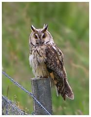 Long-Eared Owl (Pete Walkden) Tags: scotland owl longearedowl