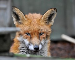 (plot19) Tags: life uk wild england manchester nikon britain sale young fox trafford oltusfotos panoramafotogrfico plot19