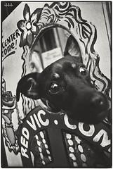 Innocent dog forced to promote peace, begging for help (steven -l-l-l- monteau) Tags: sf sanfrancisco california road street trip blackandwhite bw usa film sign analog 35mm bay peace noiretblanc kodak district trix nb neighborhood haight 400 haightashbury m42 area hippie flektogon steven 20mm expired rue ricoh f4 tls argentique ashbury peacemuseum californie quartier lll faceinhole outofdate carlzeissjena redvictorian 15years monteau singlex 15ans expire prime twoandahalfweeksonthewestcoastoftheunitedstatesofamerica redviccom