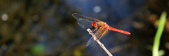 Sympetrum (Greitas) Tags: dragonfly unam sympetrum canteraoriente faunacanteraoriente