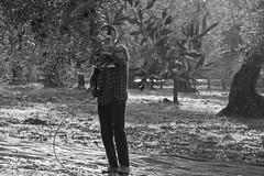 Raccolta Olive Pugliesi (brumó) Tags: italy field olive campagna oil puglia sud olio lavoro campi apulia raccolta meridione sansevero provinciadifoggia raccoltadelleolive