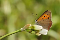 Licenide (luporosso) Tags: naturaleza nature butterfly nikon butterflies natura papillon mariposa farfalla naturalmente d300s luporosso
