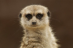 The stare down (ucumari photography) Tags: sc meerkat south columbia carolina february riverbankszoo 2011 specanimal ucumariphotography dsc6278