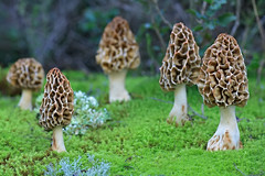 """Morchella crassipes"" (carlespoveda) Tags: macro nature mushroom fungi bosque fungus seta hongo champion morchella bolet morchellacrassipes"