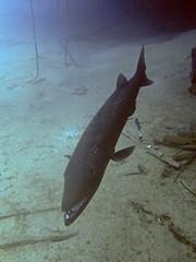 Hovering Barracuda (Peter Nijenhuis) Tags: underwater scuba shipwreck bonaire hovering hilmahooker s90 greatbarracuda sphyraenabarracuda wpdc35 peternijenhuis
