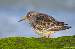 Purple Sandpiper (BN Singh) Tags: new light wild usa bird nature birds purple nj shore jersey sandpiper barnegat shorebird