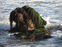 IMG_9176 (ceztom) Tags: november west beach pier pelican 25 lowtide intertidalzone egret seagrass bluff haskell 2011 venoco