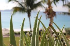 Aloe Vera plants, Maundays Bay at Cap Juluca, Anguilla