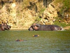 Hippos (Perkins-Boyer Photos) Tags: safari hippo uganda lakevictoria africananimals kazingachannel