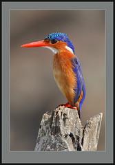 Pingu! -an upright Malachite. (Rainbirder) Tags: ngc npc malachitekingfisher alcedocristata lakebaringo rainbirder