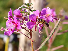A honey bee working on a Great Willow-herb. (Bienenwabe) Tags: flower macro insect bee honeybee onagraceae epilobium epilobiumangustifolium honigbiene weidenrschen mygearandme mygearandmepremium mygearandmebronze mygearandmesilver apismeliferae