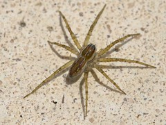 Fishing spider juvenile 6895 (Malcolm NQ) Tags: green spider queensland townsville fishingspider pisauridae waterspider geo:country=australia arananeomorphae